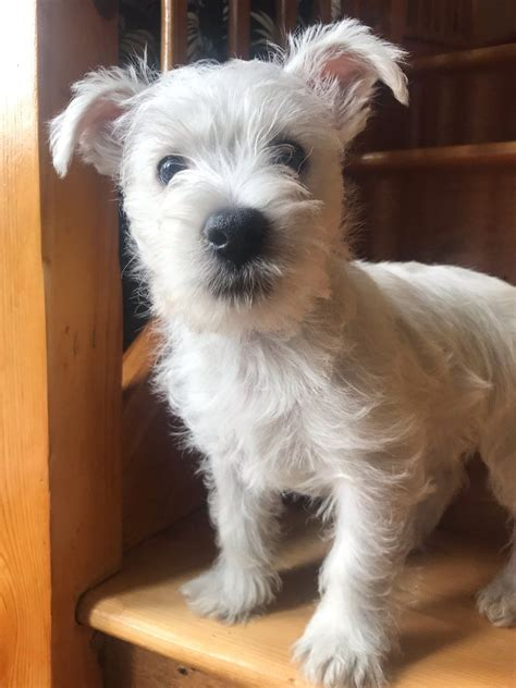 Quality West Highland White Terrier Puppies | Norwich
