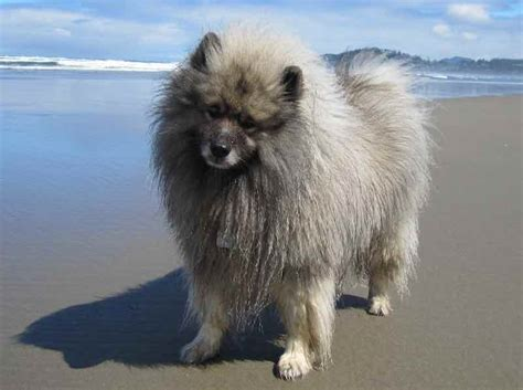 Keeshond - Dog Breed Information and Images - K9 Research