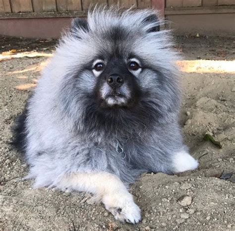 14 Things to Consider Before Buying a Keeshond | PetPress