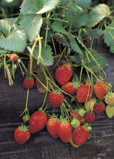 Extension helps strawberry growers fight aggressive plant