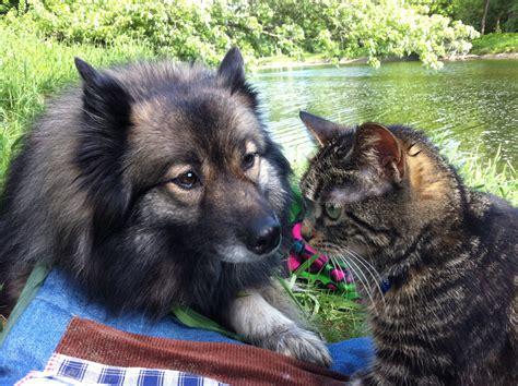 Life with a Keeshond
