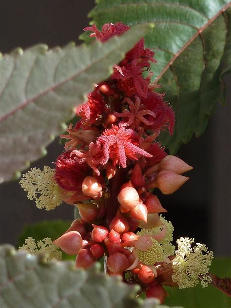 Castor oil plant - Simple English Wikipedia, the free