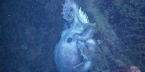Deep-Sea Octopus Guards Eggs For 4