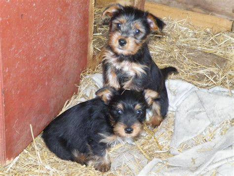 Yorkshire Terrier x Jack Russell Puppies for sale