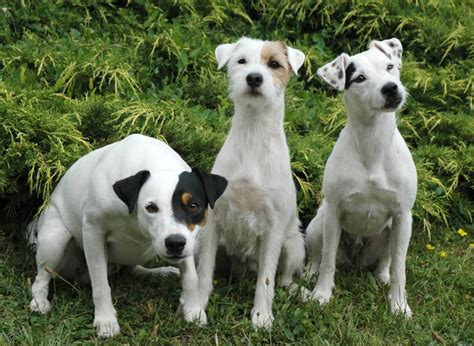 Parson Russell Terrier Breed Guide - Learn about the