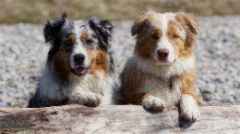 Medium-Sized Dogs | Dog Breed Guide| Healthy Paws