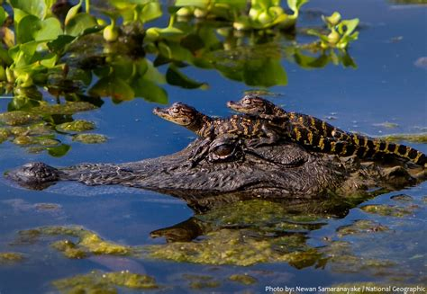 Interesting facts about crocodiles   Just Fun Facts