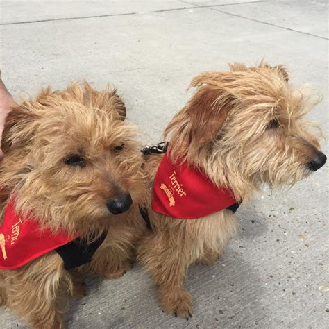 Zippy & Zappy Small Terrier brothers - Terrier SOS - a UK